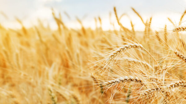 Close up shot of ears of golden wheat