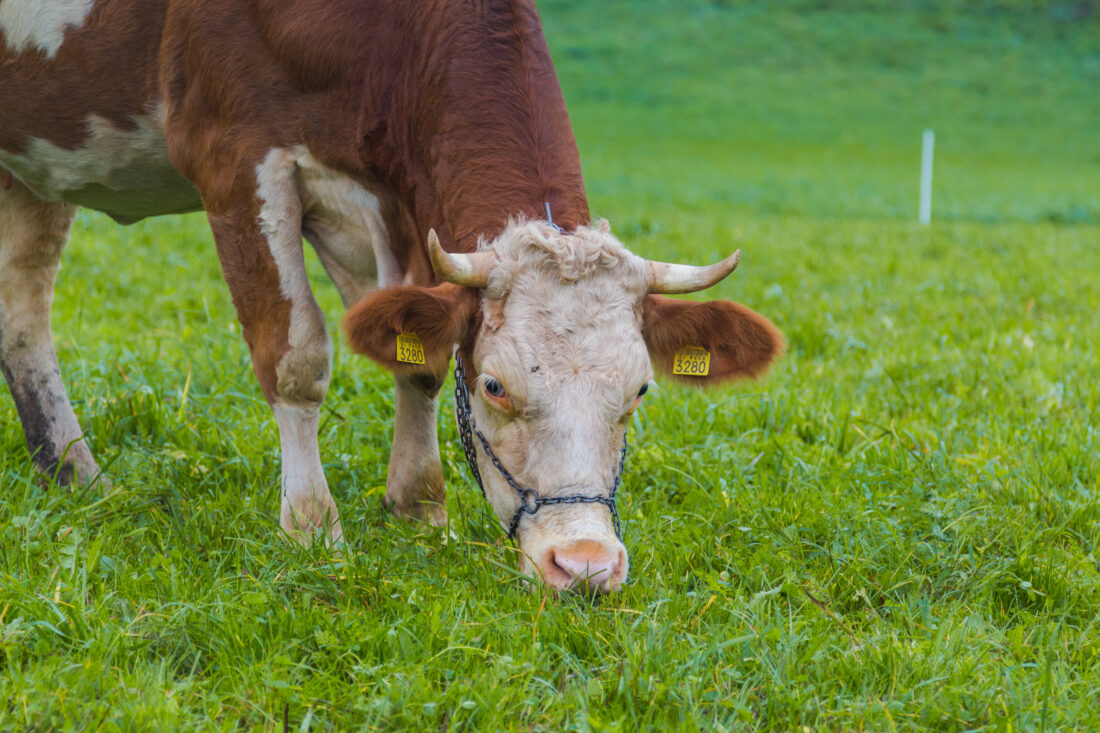 Brown and white spotted cow eating grass in a meadow