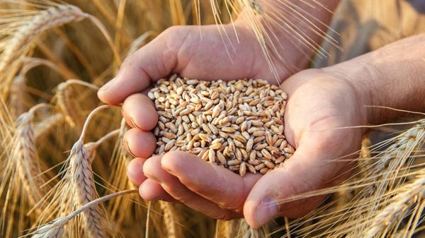 Hands holding organic grain