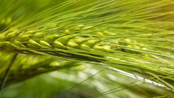 Close up shot of organic barley growing in a field