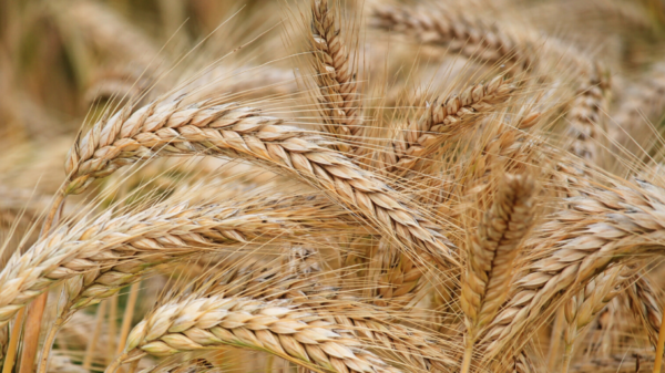 Close up shot of wheat growing in a field