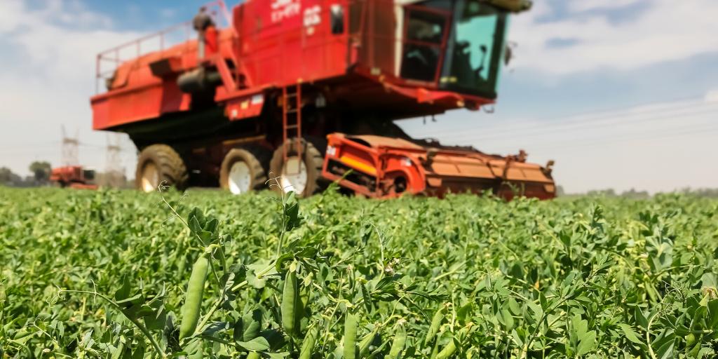 Peas growing in a field
