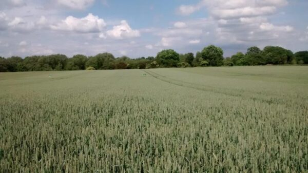 Nelson wheat