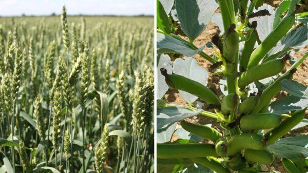 Bi cropping Cope Seeds web