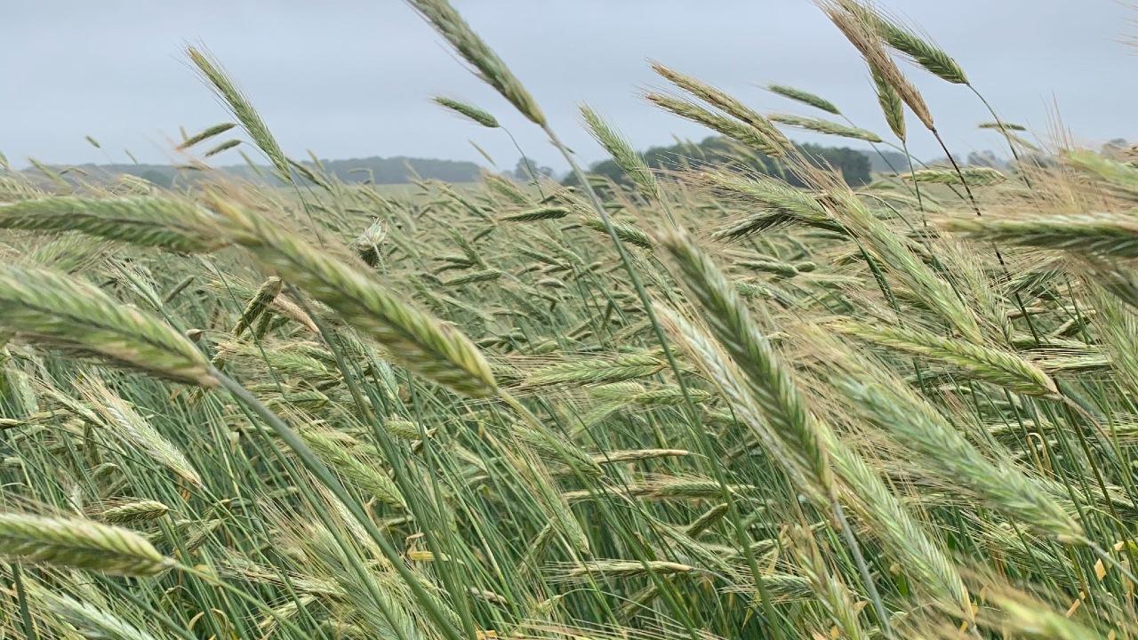 Boyko Spring Rye close Cope Seeds web