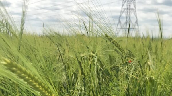 Naked Barley Cope Seeds Web
