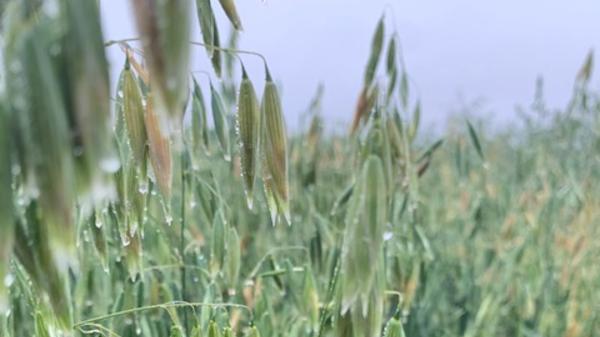 Naked Oats close up sky - Cope Seeds