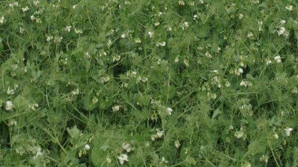 Field of Kingfisher peas
