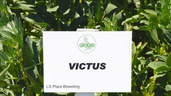 Victus Spring Bean cope seeds