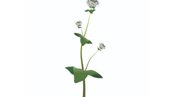 Buckwheat - Fagopyrum esculentum-01