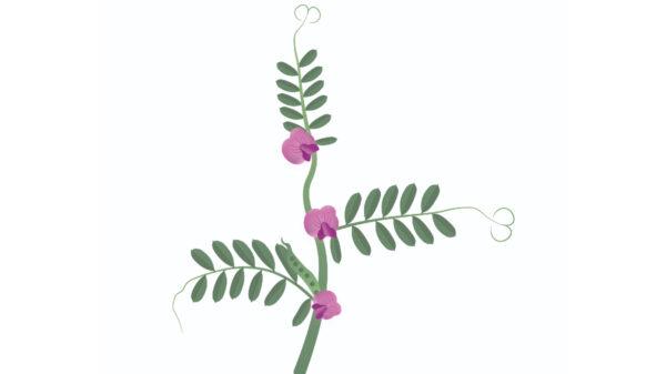 Common Vetch - Vicia sativa- Cope Seeds web