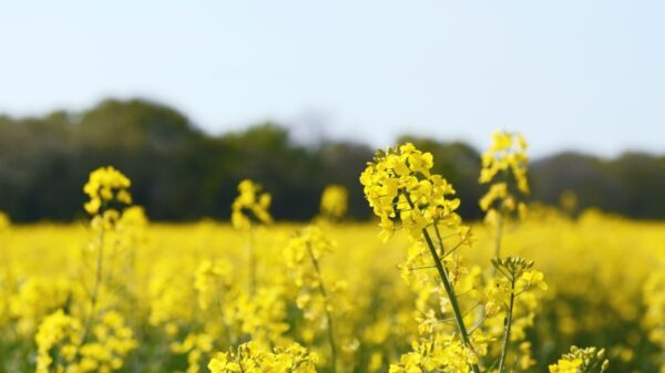 Field of oilseed rape in flower