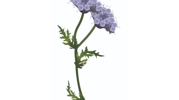 Phacelia – Phacelia tanacetifolia-01
