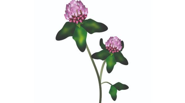 Red Clover – Trifolium pratense Cope Seeds web (1)