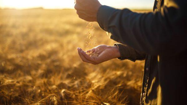 Golden wheat through hands - Cope Seeds & Grain