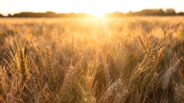 Sunset over golden wheat field - Cope Seeds & Grain
